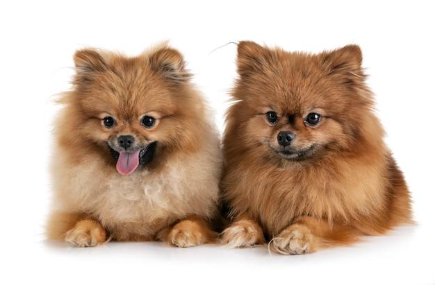 Pomeranians en estudio