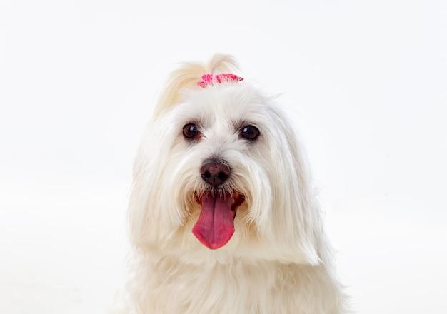 Portratit de un perro blanco con pelo largo y una coleta