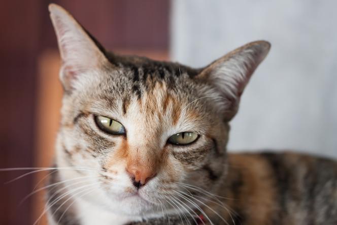 Pose de gato tailandés en casa