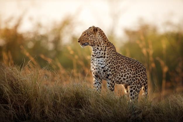 Pose de mujer leopardo africano en la hermosa luz del atardecer