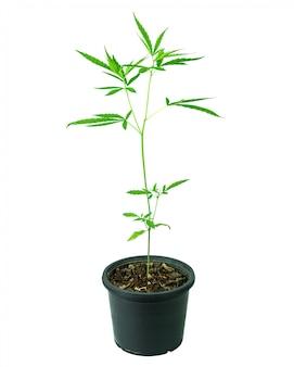 Pote del árbol de la marijuana o del cáñamo aislado en blanco puro.