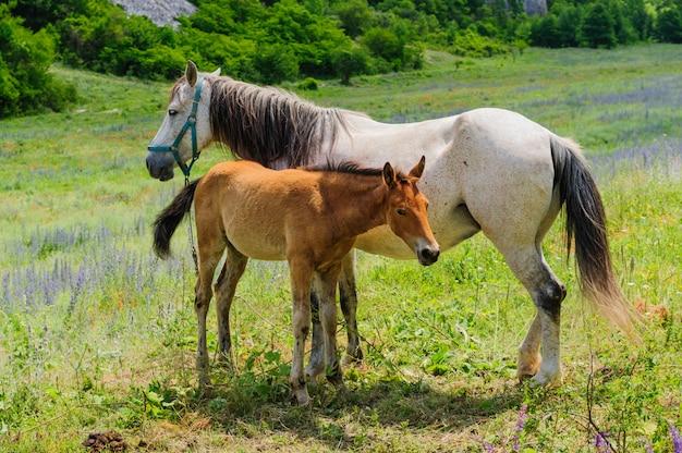 Potro y su madre caballo, amamantando.