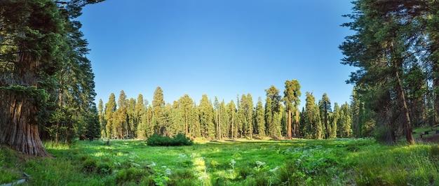 Pradera contra enorme vista panorámica del bosque de pinos