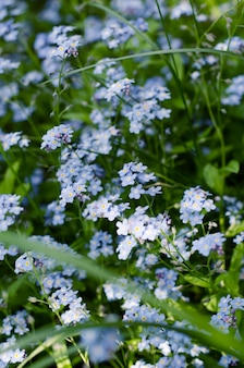 Pradera salvaje de hermosas flores azules nomeolvides.