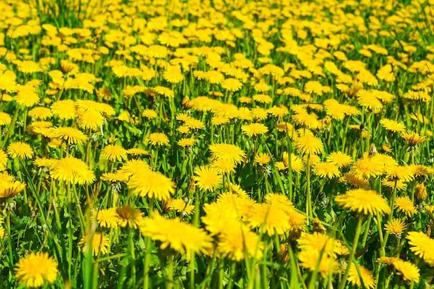 Prado de diente de león amarillo de verano