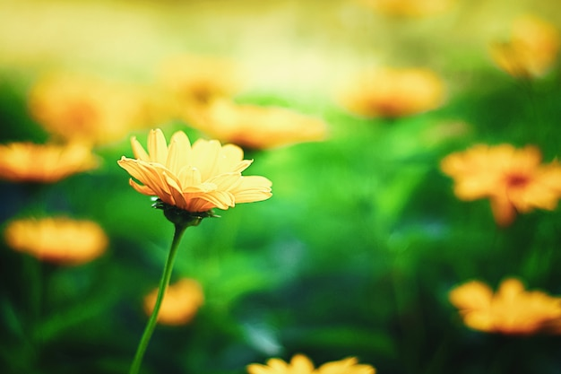 Prado de verano soleado con flores de naranja, heliopsis helianthoides