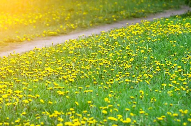 Prados de diente de león verde y amarillo y un sendero.