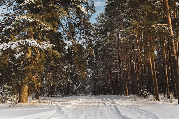 Precioso bosque de pinos en invierno. fondo del bosque cubierto de nieve