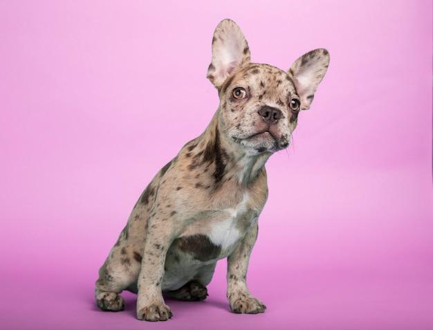 Precioso cachorro de bulldog francés sentado sobre un fondo fucsia