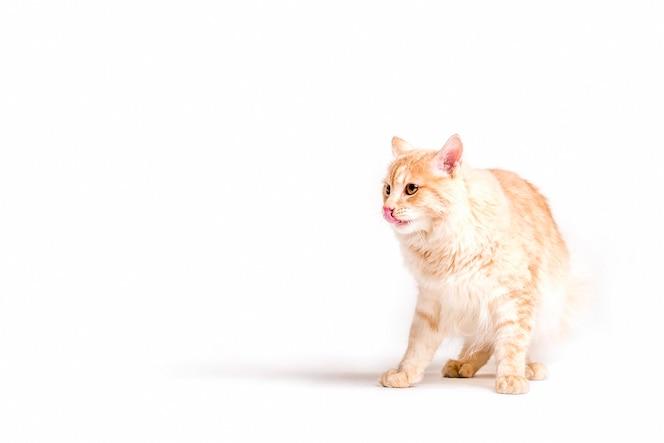 Precioso gato esponjoso sacando la lengua sobre fondo blanco
