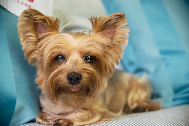 Precioso perro tan yorkshire terrier