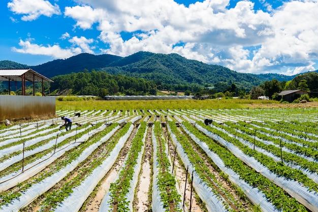 Preparación del suelo para el cultivo de fresas, campo de fresas parcialmente en chiang mai, tailandia.