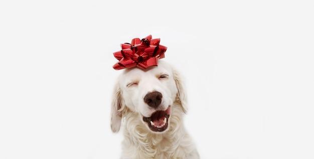 Presente feliz del perro para la navidad, el cumpleaños o el aniversario, llevando una cinta roja en la cabeza. aislado