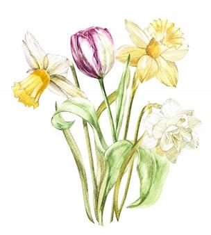 La primavera florece el narciso y el tulipán que miran en los estantes ejemplo dibujado mano de la acuarela.