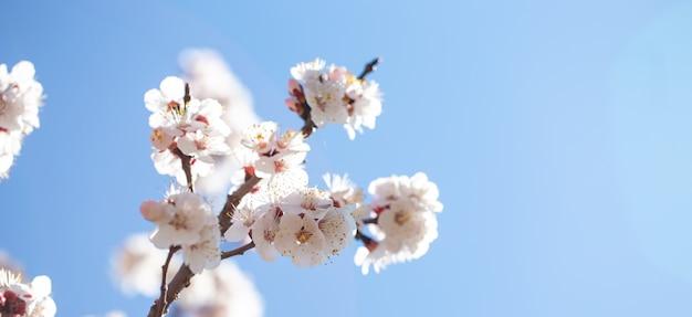 La primavera florece ramas del albaricoque floreciente contra el cielo azul.