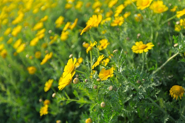 Primavera con hermosas flores amarillas.