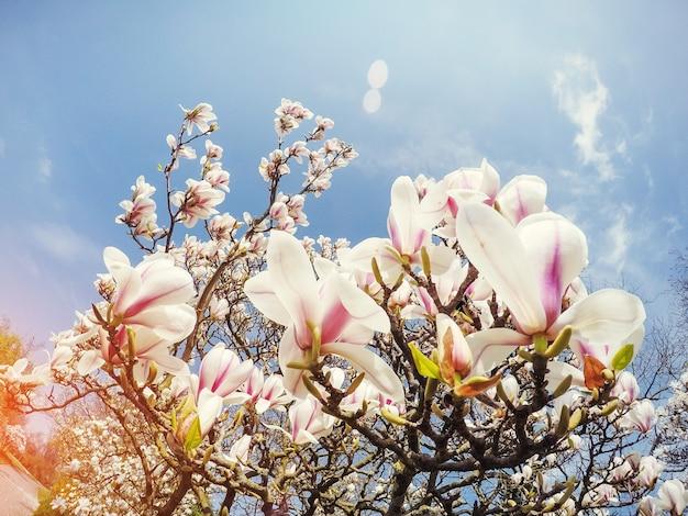 La primavera rosada hermosa florece la magnolia en una rama de árbol.