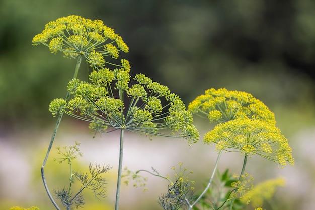 El primer aisló el paraguas fragante del eneldo encendido por el sol de la mañana que florece en alto tallo. concepto de agricultura, cocina y agricultura.