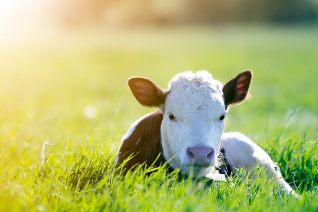 Primer del becerro blanco y marrón que mira en la cámara que pone en el campo verde encendido por el sol con la hierba fresca de la primavera en fondo borroso verde. concepto de producción ganadera, ganadería, producción de leche y carne.