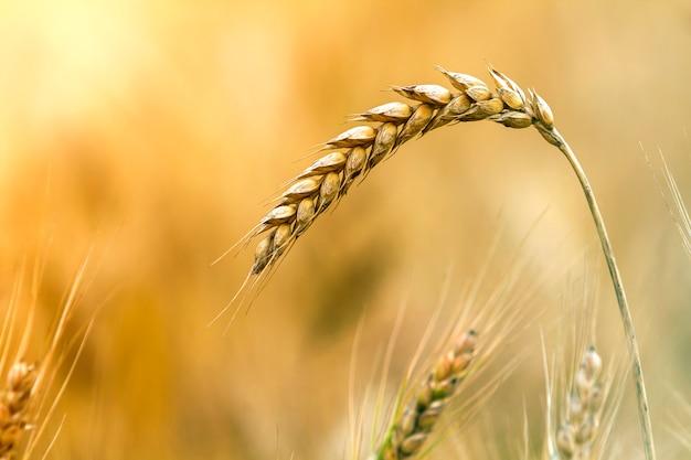 Primer de la cabeza enfocada madura coloreada amarilla dorada amarilla caliente del trigo en día de verano soleado en fondo marrón claro borroso suave del campo de trigo brumoso del prado. concepto de agricultura, ganadería y cosecha rica.