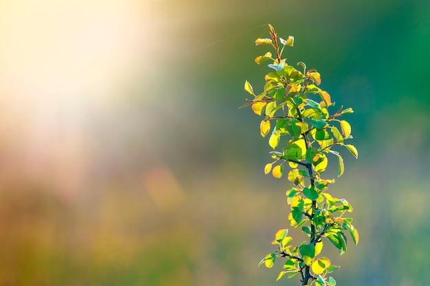 Primer de la cabeza enfocada madura del trigo del amarillo dorado coloreado caliente en día de verano soleado en campo de trigo suave borroso brumoso del prado marrón claro agricultura, agricultura y concepto rico de la cosecha.