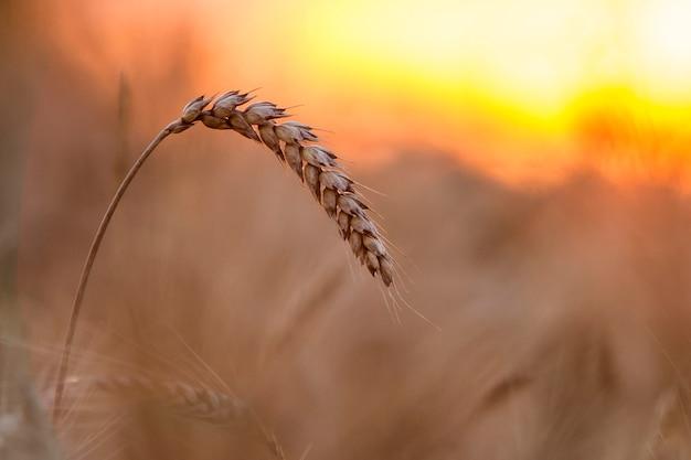 Primer de las cabezas centradas maduras amarillas de oro coloreadas calientes del trigo en día soleado de verano en fondo marrón claro borroso suave del campo de trigo brumoso del prado. concepto de agricultura, agricultura y cosecha rica.
