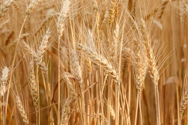Primer campo de trigo dorado y día soleado