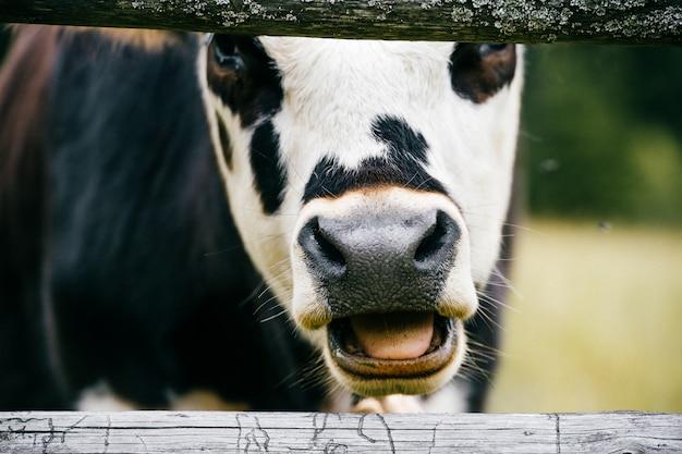 Primer de la cara manchada de la vaca de masticación en campo en el pasto alto en montañas cárpatas en la granja. moscas atacando mamíferos animales domésticos. productos lácteos saludables. la cría de ganado. insectos infecciosos