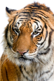 Primer en la cara de un tigre aislada.