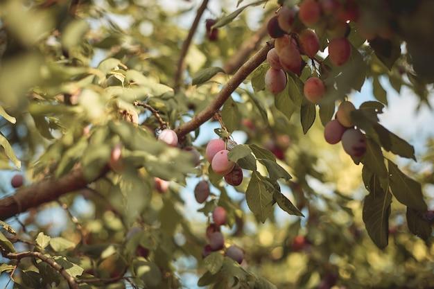 Primer de ciruelos maduros deliciosos en rama de árbol en jardín.
