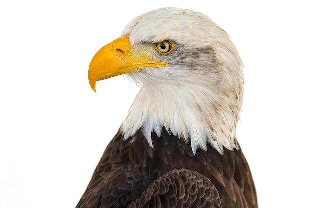 Primer disparo de un águila majestuosa sobre un fondo blanco.