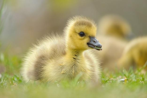 Primer disparo de un bebé ganso de canadá en la hierba