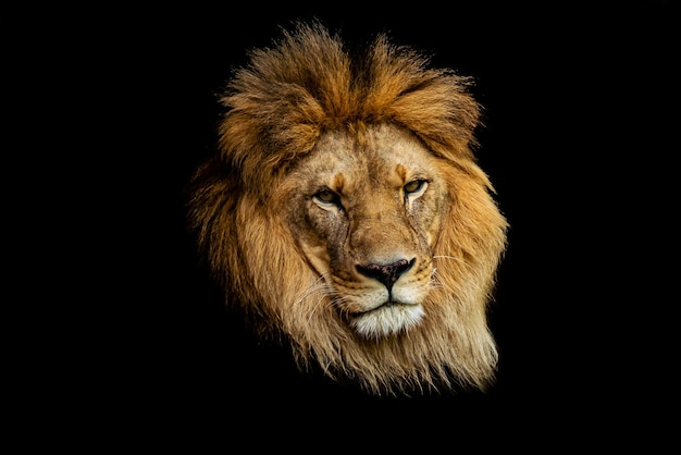 Primer disparo de la cara del león aislado en la oscuridad