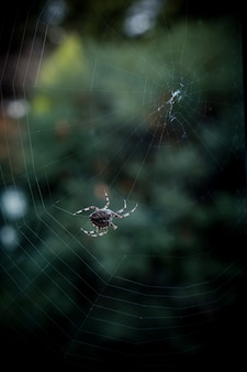 Primer disparo de enfoque selectivo de una araña negra caminando sobre una web