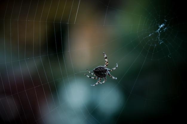 Primer disparo de enfoque selectivo de una araña negra caminando en la web