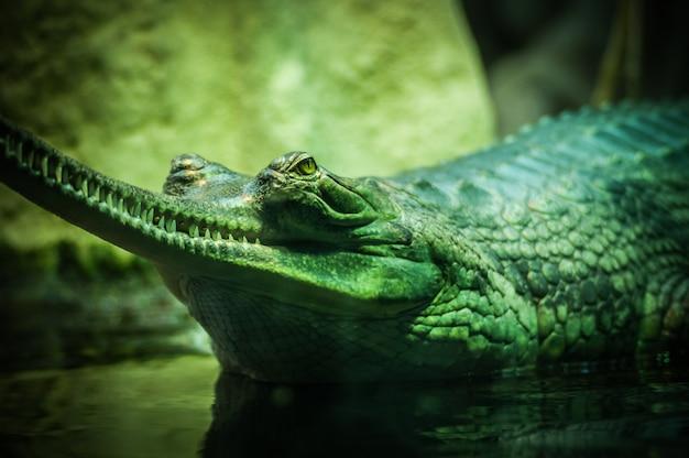 Primer disparo de enfoque selectivo de un cocodrilo verde en el cuerpo de agua