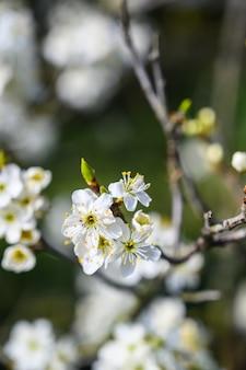 Primer disparo de enfoque selectivo de una increíble flor de cerezo bajo la luz del sol