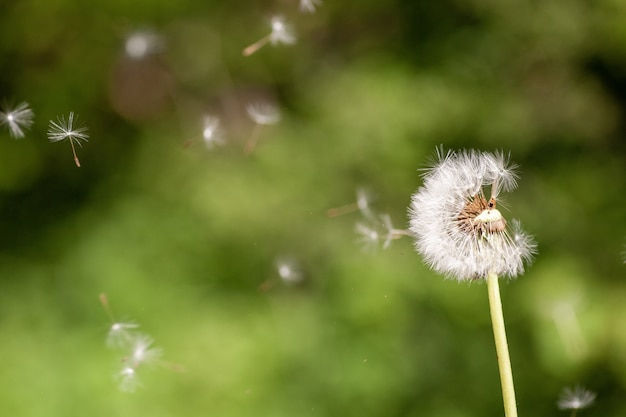 Primer disparo de enfoque selectivo de una linda planta con flores de diente de león