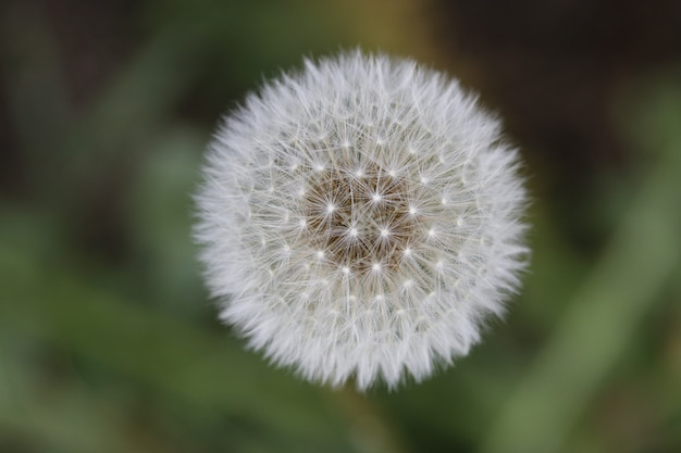 Primer disparo de una flor de diente de león esponjoso blanco