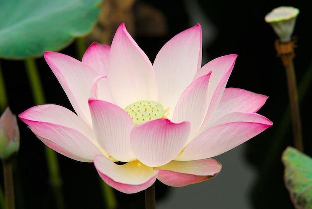 Primer disparo de una flor de loto