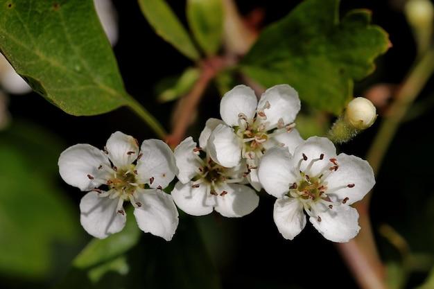 Primer disparo de flores blancas en las ramas de los árboles