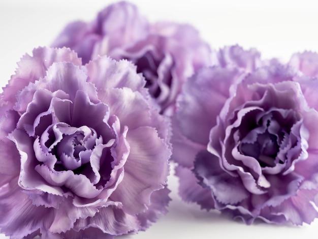 Primer disparo de flores de clavel púrpura sobre un fondo blanco.