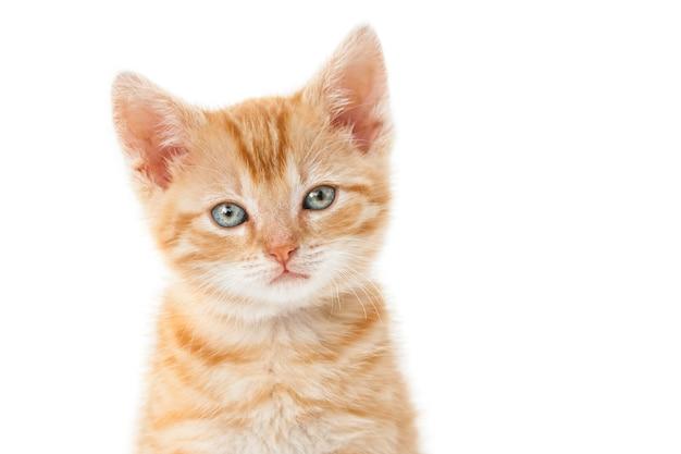Primer disparo de un gatito jengibre con ojos verdes sobre un fondo blanco.
