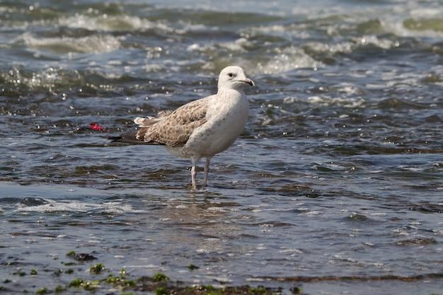 Primer disparo de una gaviota blanca en el agua de la costa
