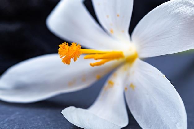 Primer disparo de una hermosa flor de azafrán blanco