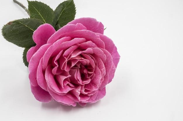 Primer disparo de una hermosa rosa rosa con gotas de agua aisladas en una distancia blanca