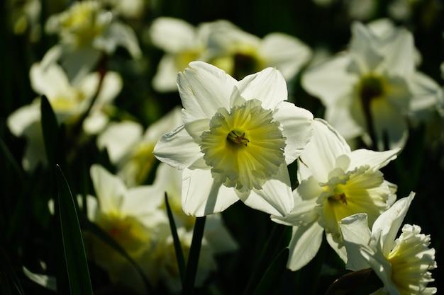 Primer disparo de hermosas flores de narciso de pétalos blancos