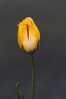 Primer disparo de un hermoso tulipán amarillo aislado en gris
