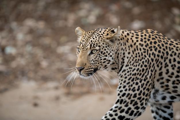 Primer disparo de un leopardo africano
