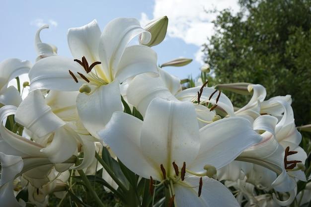 Primer disparo de lirios blancos en el jardín bajo un cielo azul